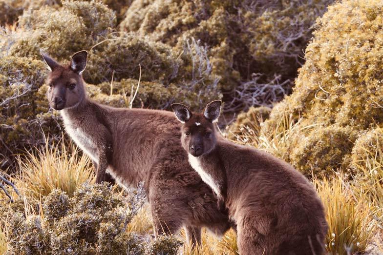 kangaroo spotting on kangaroo island 1