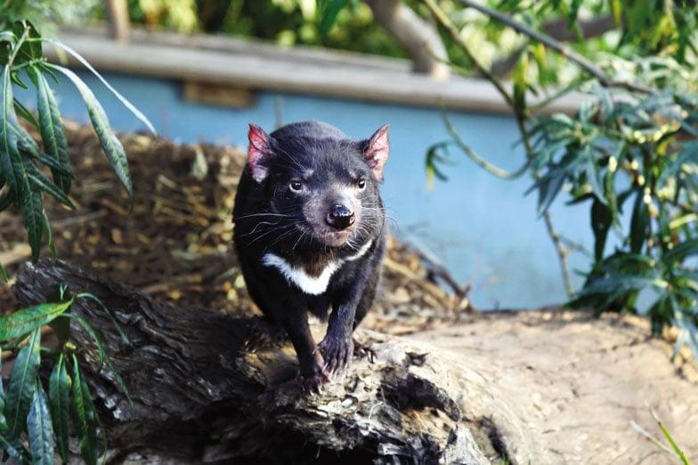 A Tasmanian devil at Bonorong Wildlife Sanctuary. Image Tourism Australia Graham Freeman