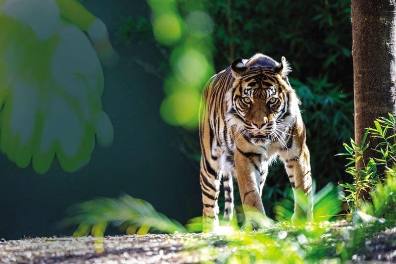 A tiger at Adelaide Zoo. Image Zoos SA Adrian Mann