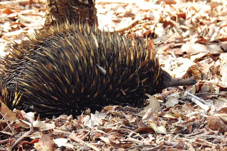 An echidna at Territory Wildlife Park