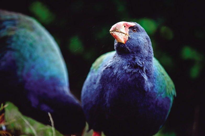 Discover the wildlife at Orokonui Eco Sanctuary in Dunedin