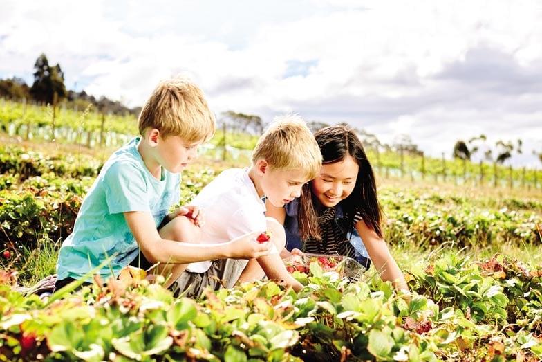 Strawberry picking at Coal River Farm. Image Tourism Tasmania 2