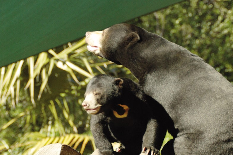 Sun bears at the National Zoo and Aquarium in Canberra
